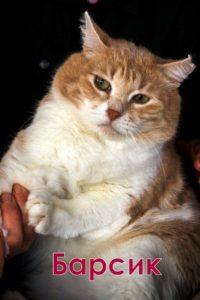 двухцветные кошки барсик