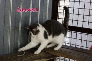 двухцветные кошки Дымка