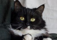 двухцветные кошки 3