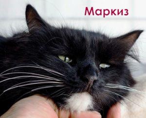двухцветные кошки Маркиз