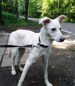 небольшая белая собака