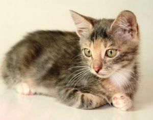 Этот маленький очаровательный нежный котеночек - девчушка Лизочка - живет в московской квартире, в районе Преображенской площади. 21