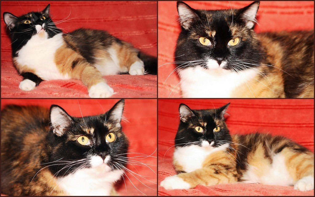 трехцветная кошка в добрые руки