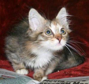 котенок в дар в москве